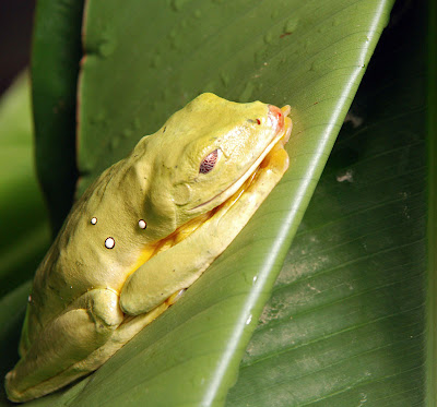 frog from La Paz Waterfall Gardens in Costa Rica