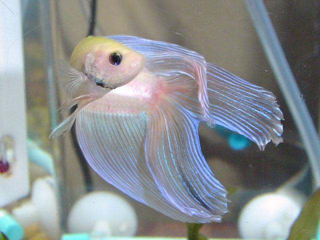 IKAN PELAGA THE FIGHTING FISH: DOUBLE TAILED BETTA