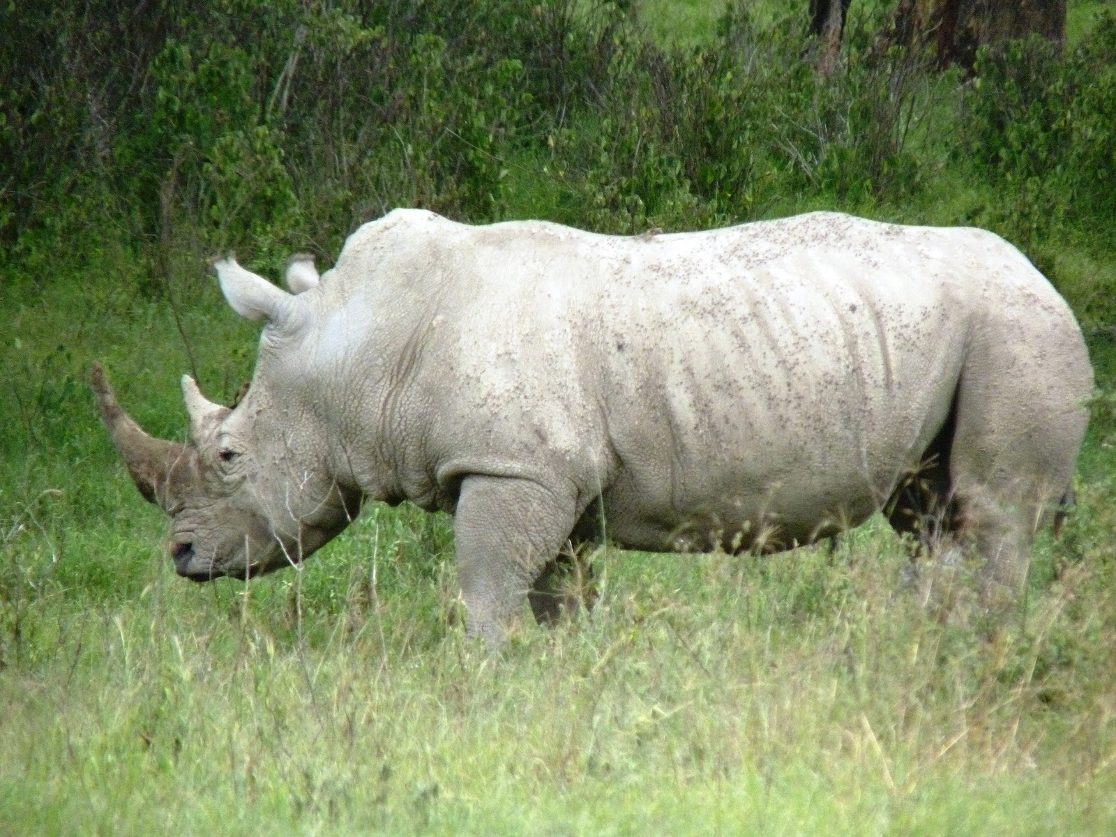 Rhinoceros in Kenya