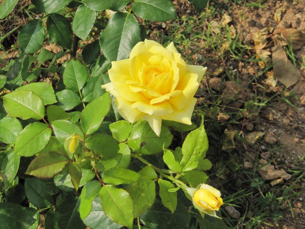 CULIBLANCO por FRANCISCO NIETO: LAS ROSAS flores y significado de ...