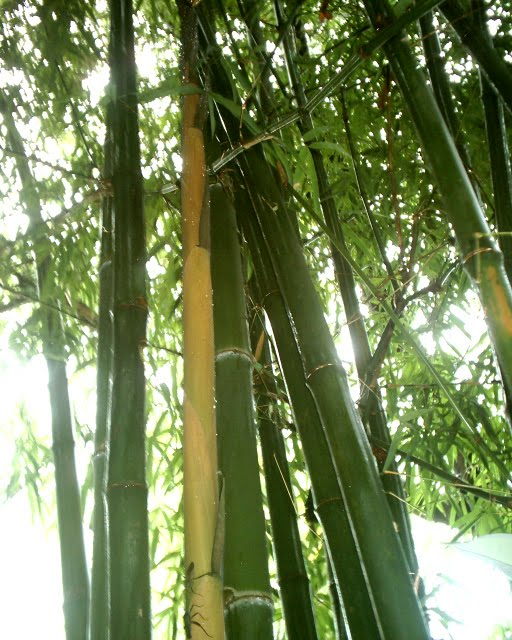 Bamboo Species — Common + Useful Bamboos in Thailand