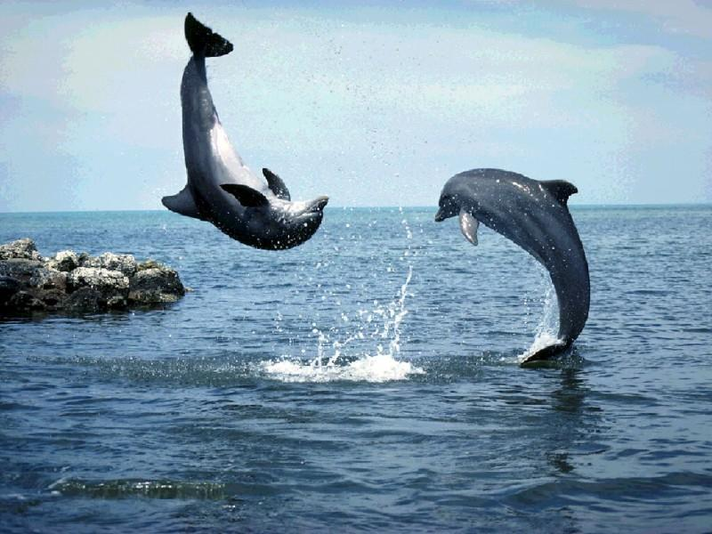 images of dolphins playing - photo #1