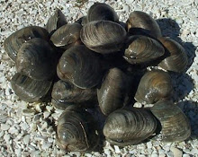 HARD CLAMS