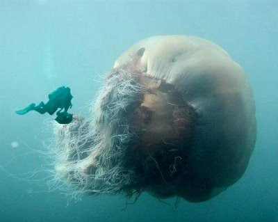 Giant jellyfish.