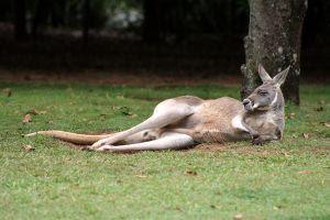 A kangaroo lying down resting.