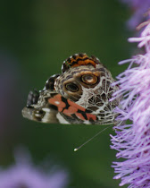 American Painted Lady Wings Together