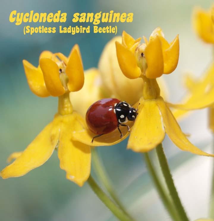 [ladybug+on+asclepias.jpg]