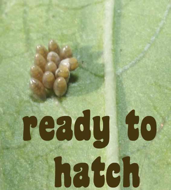[ladybug+eggs+darkening.jpg]