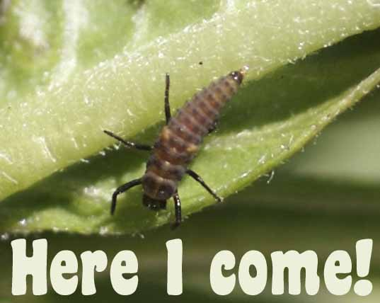 [ladybug+before+release.jpg]