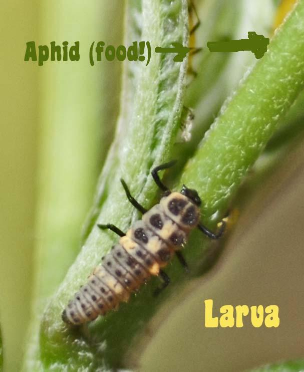 [ladybug+larva+back.jpg]
