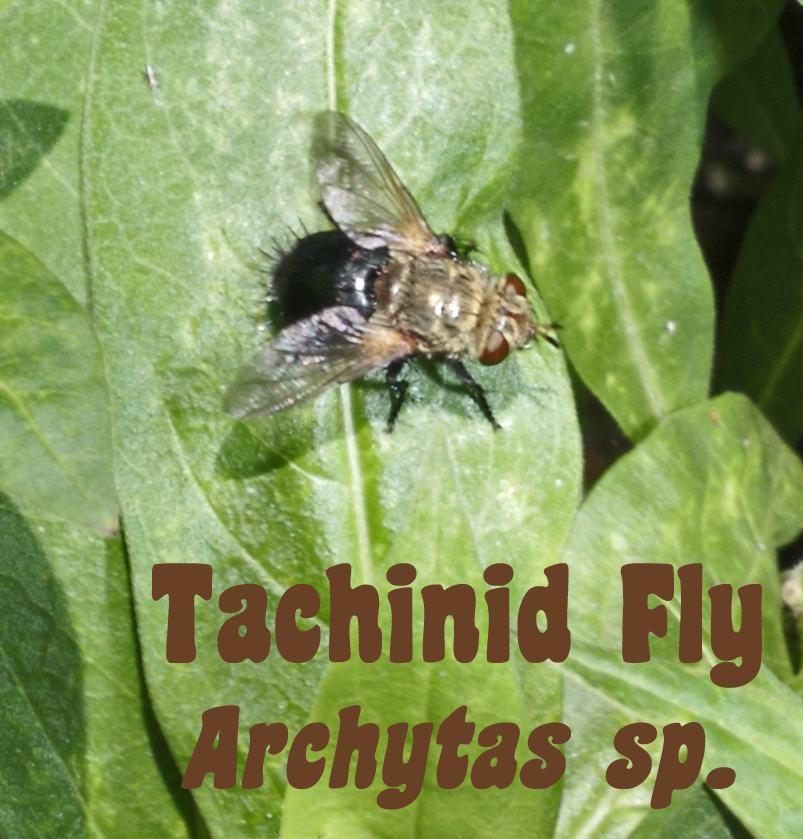 [tachinid+archytas+2.jpg]