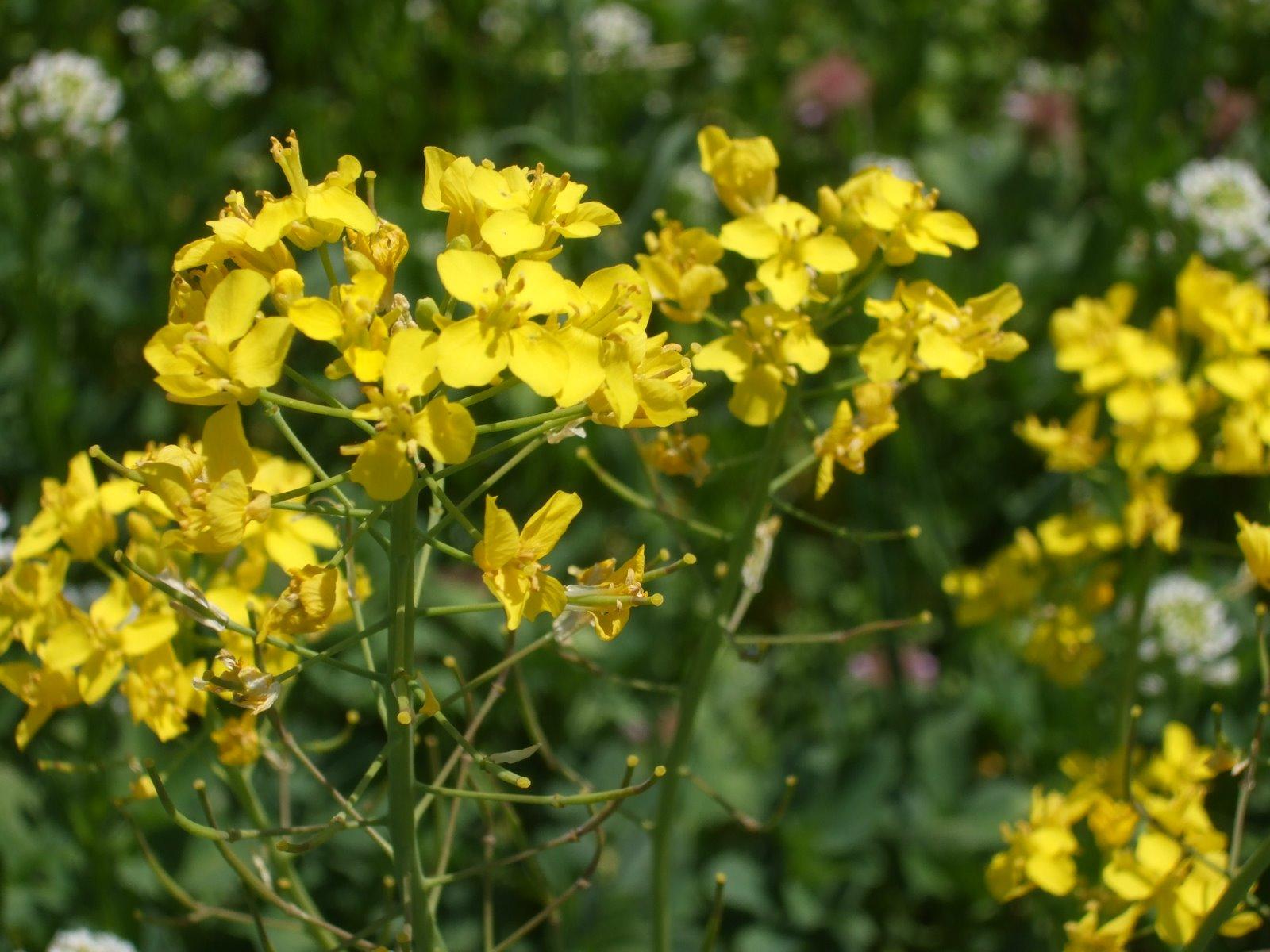 Rosemary's Sampler: Mustard Fields
