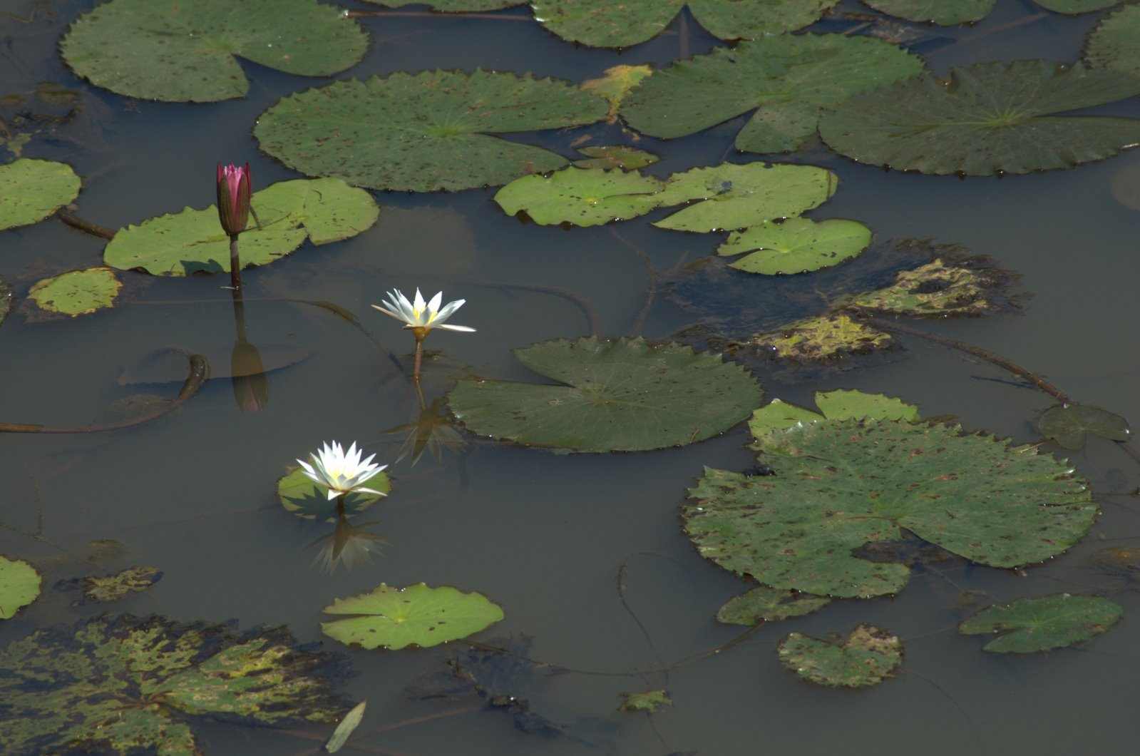 [20+Flowers+Lotus+Water.jpg]