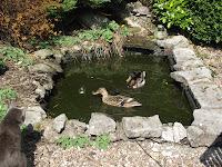 Caldertop cottage nature diary ducks on the garden pond for Laghetto per anatre