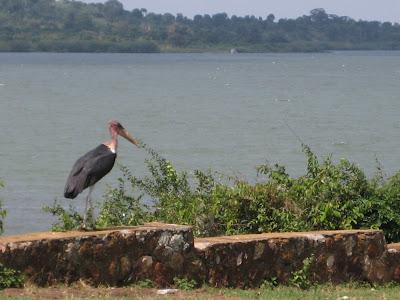 lake victoria pelican