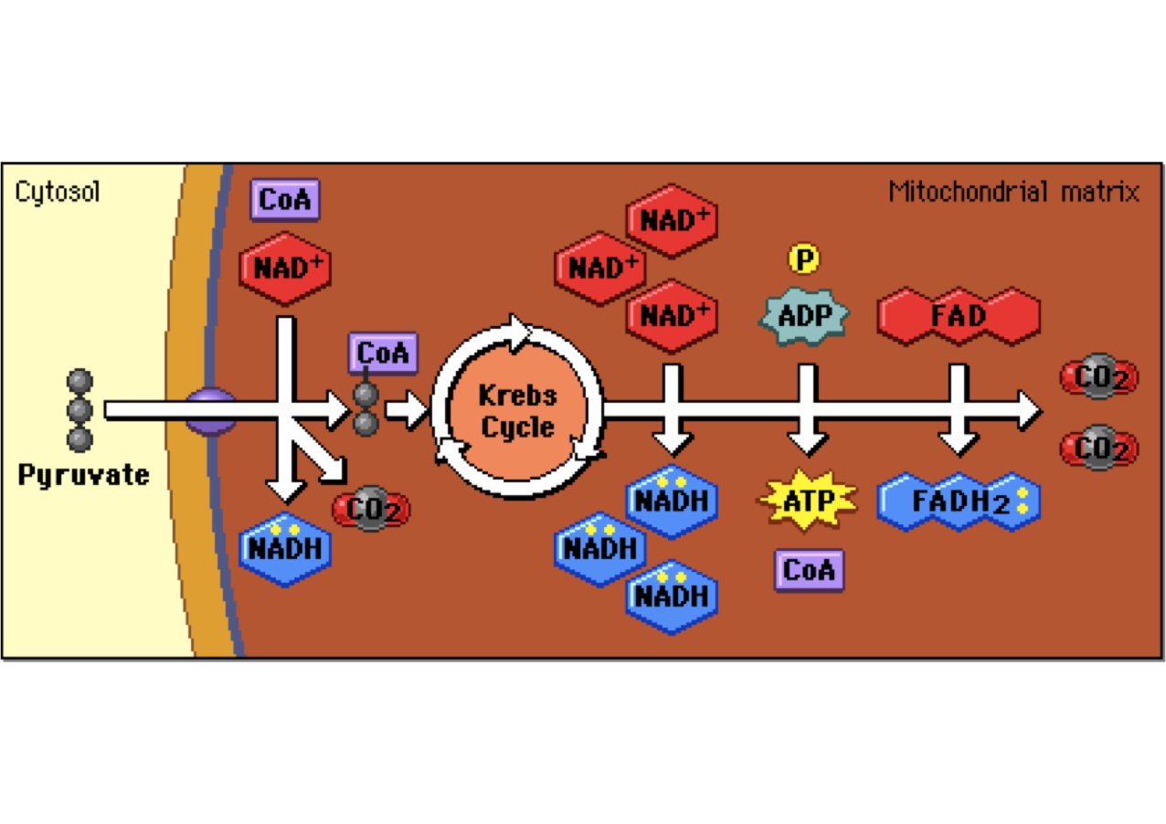 explain krebs cycle with diagram ford fiesta mk7 radio wiring photosynthesis electron transport chain