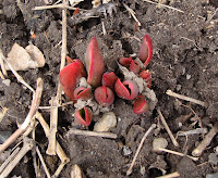 Tulips emerging from soil