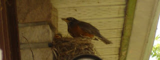 Robins' nest and mother and baby robin