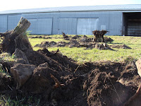 Aftermath of tree-root removal in the orchard area