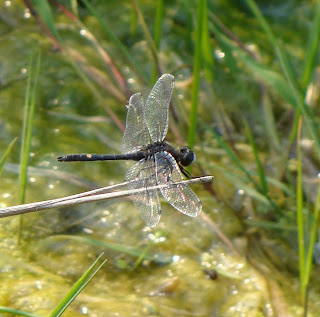 Black dragonfly with yellow spot