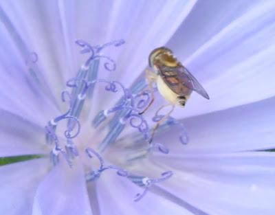 Disk florets on Blue Lettuce flower