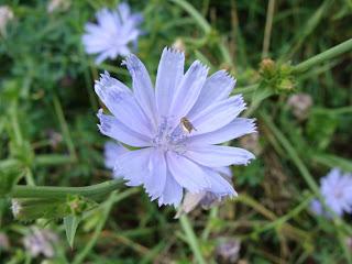 Blue Lettuce flower