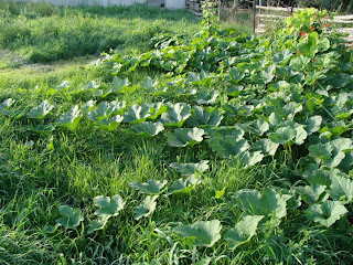 Squash plants expanding everywhere