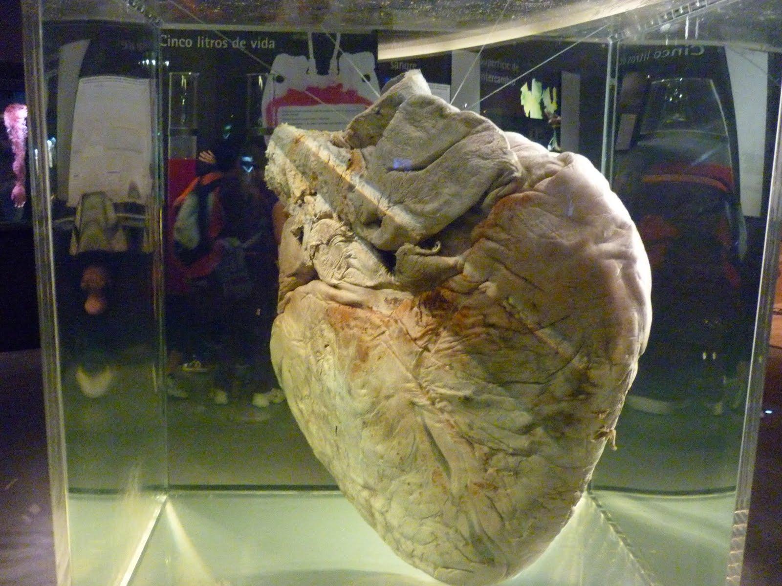 El gigantesco corazón de una ballena azul