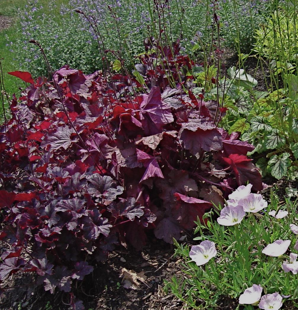 Plant Inventory at 20 Timothy : Heuchera / Coral Bells