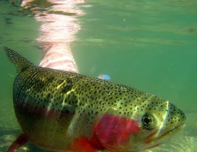 Billy Burk caught a fat cuttbow in Colorado