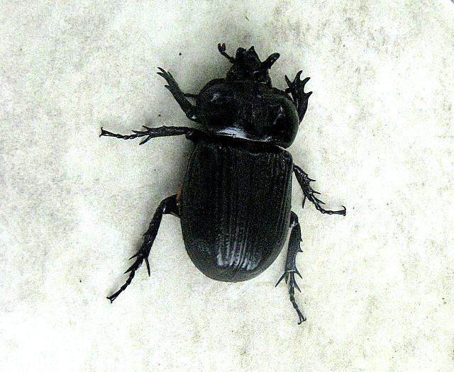 Images of Black Beetle Bugs - #rock-cafe