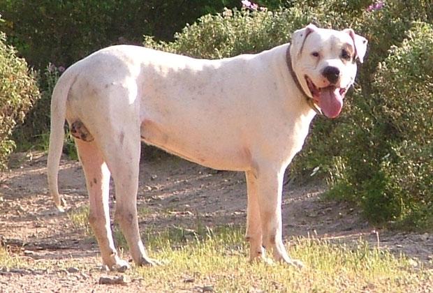 il dogo argentino: adotta un dogo