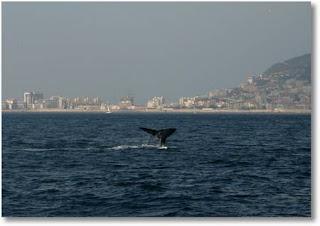 Ballenas en la Bahía de Gibraltar, foto Fundación firmm