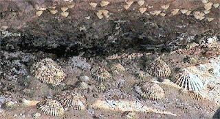En el litoral de las Chafarinas se pueden observar colonias de Patella Ferruginea, que son de un tamaño muy grande (hasta 12 cm. de longitud).