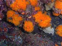 Corales gaditanos (Foto: Consejería de Medio Ambiente)