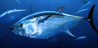 Atún rojo, cimarrón o de aleta azul (Thunnus thynnus)