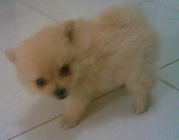 Breed Food Small Acana Puppy
