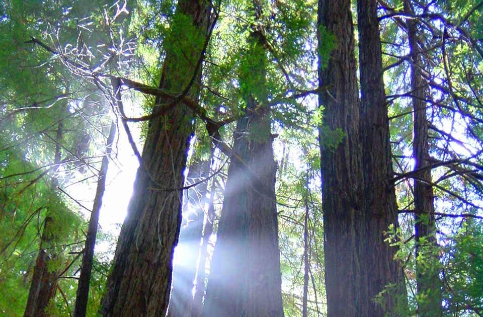 10 Interesting Redwood Tree Facts Facts About All