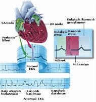 Daha fazla glomerulus kılcallarında kan basıncı