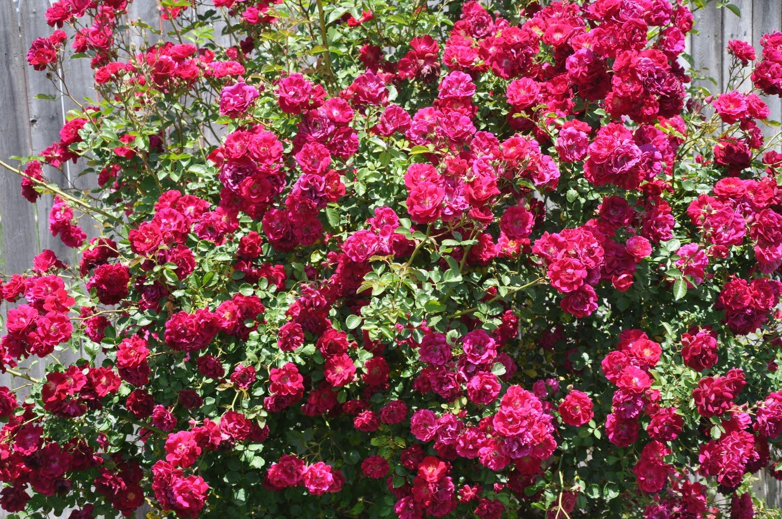 Graham Canyon: Texas Roses From Grandma Bev's Backyard