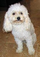 Todo Sobre El Caniche Peinar Lavar Cuidados Peinados Pelo