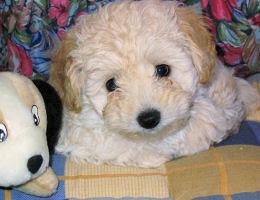 Corte de pelo para cachorro caniche