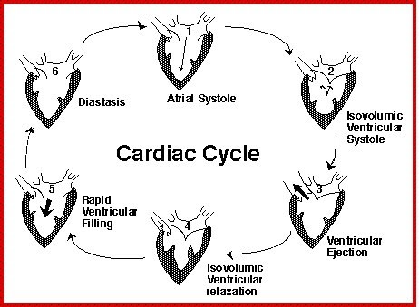 Pcl Group D The Cardiac Cycle Pcl 2
