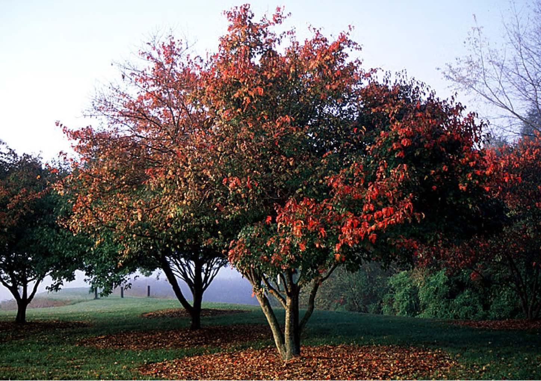 Beechwood Landscape Architecture And Construction Amur Maple