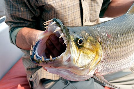 Goliath Tiger Fish in Congo River : Pictures & Videos