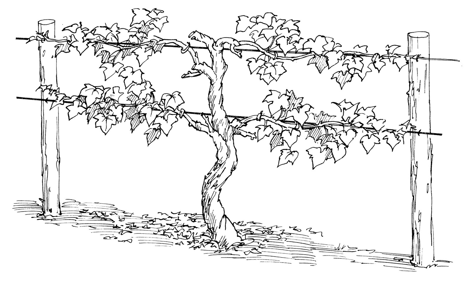 Jesus is the vine for Vine and branches coloring page