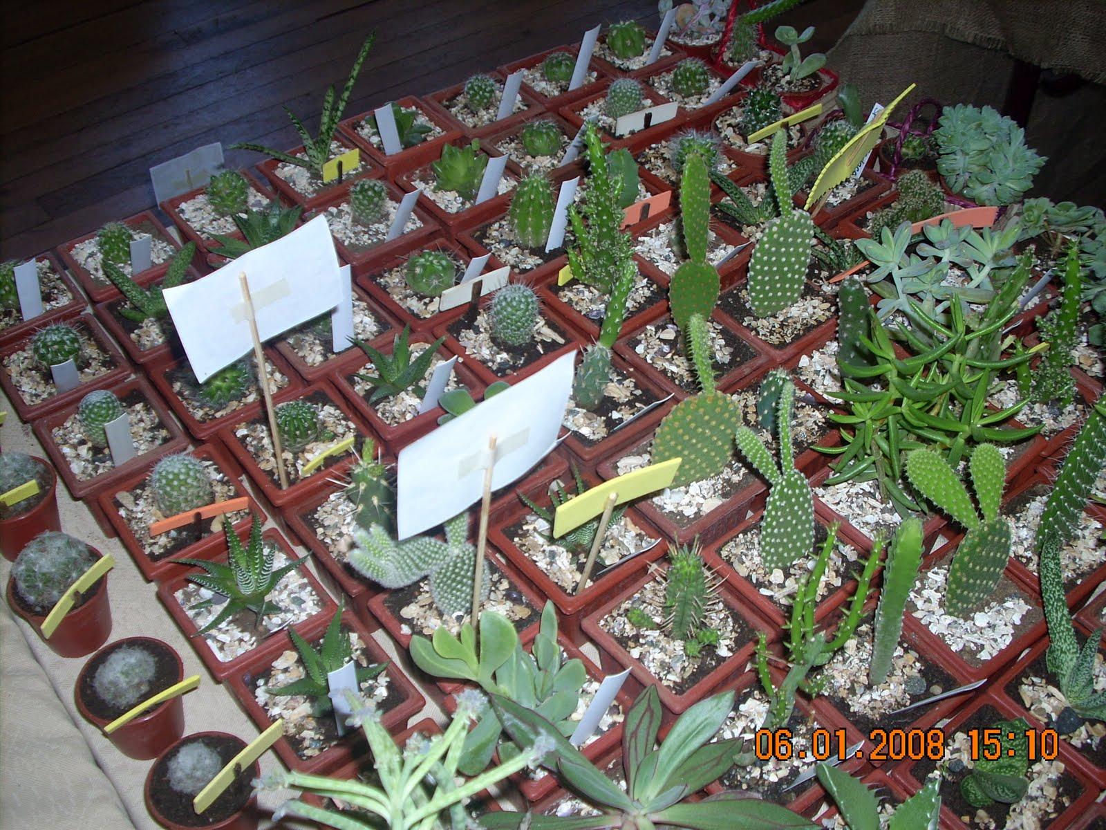 Vivero sanssouci productos del vivero sanssouci cactus y for Vivero plantas exoticas