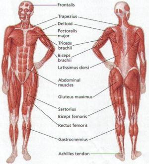 human bio: overview of muscular system, Muscles