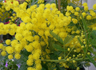 Quot Is The Acai Tree A Mimosa Mimosa Tea Recipe Quot Quot Plant