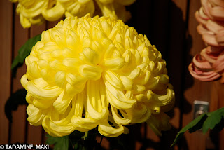 Chrysanthemum in Kyoto, again
